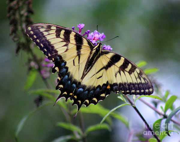 Photograph - Eastern Tiger Swallowtail Butterfly Dorsal View 2017 by Karen Adams