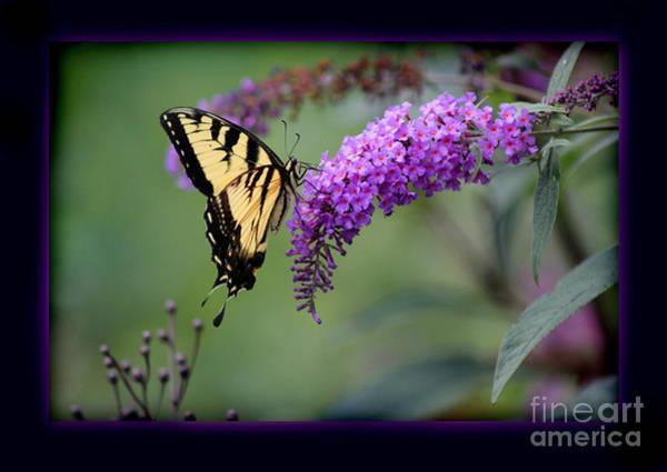 Photograph - Eastern Tiger Swallowtail Butterfly Framed by Karen Adams
