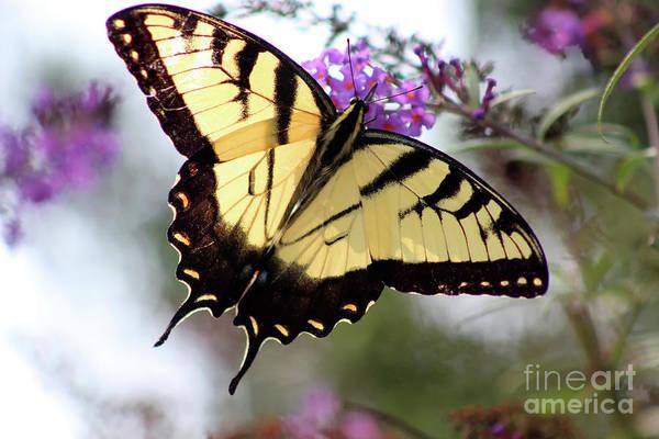 Photograph - Eastern Tiger Swallowtail Butterfly In Summer by Karen Adams