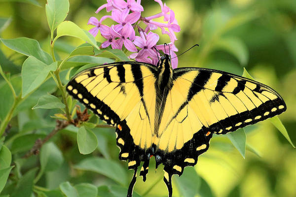 Photograph - Eastern Tiger Swallowtail Butterfly by Sheila Brown