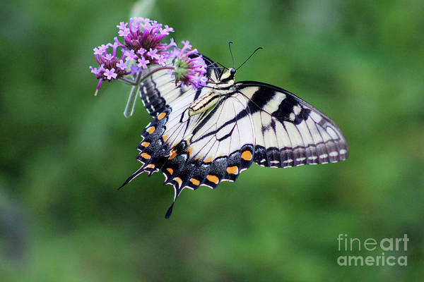 Photograph - Eastern Tiger Swallowtail Butterfly Ventral View by Karen Adams