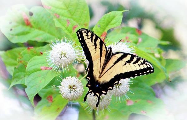 Photograph - Eastern Tiger Swallowtail by Cynthia Guinn