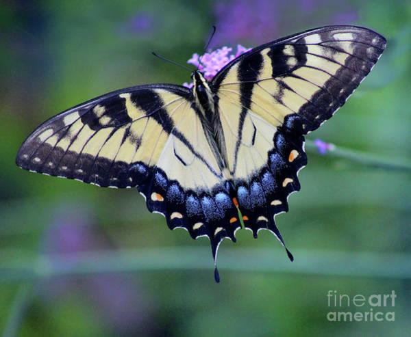 Photograph - Eastern Tiger Swallowtail Dorsal Crop 2016 by Karen Adams