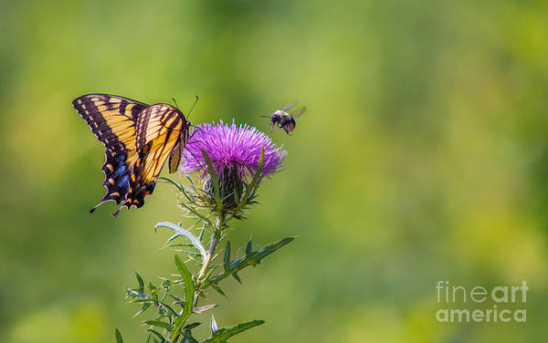 Photograph - Eastern Tiger Swallowtail by Rima Biswas