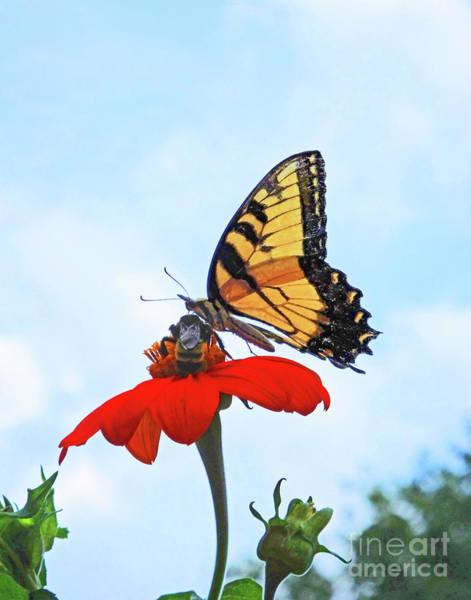Photograph - Eastern Tigert Swallowtail 29 by Lizi Beard-Ward