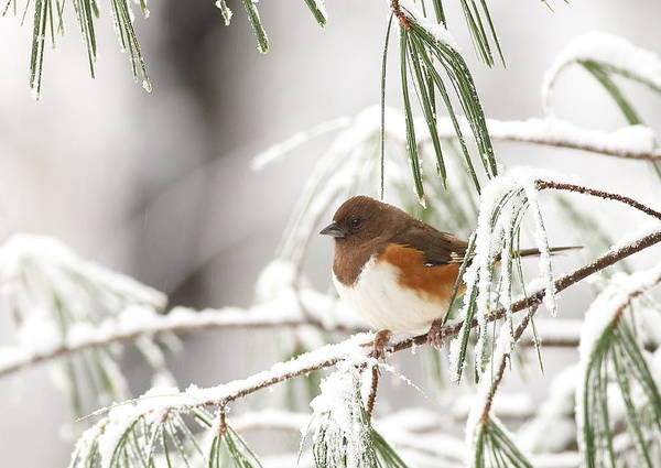 Photograph - Eastern Towhee In Snowy Pine by Daniel Reed