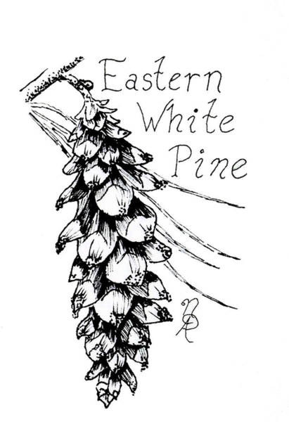 Drawing - Eastern White Pine Cone On A Branch by Nicole Angell