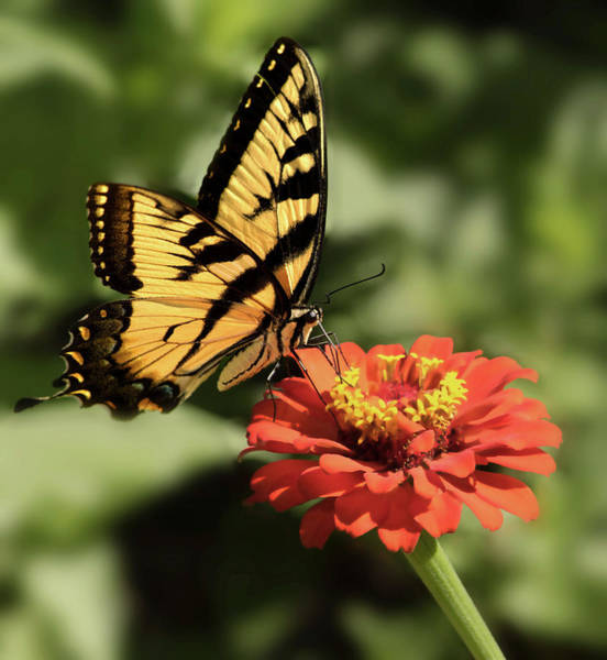 Zinnia Wall Art - Photograph - Eastern Yellow Swallowtail by Don Spenner