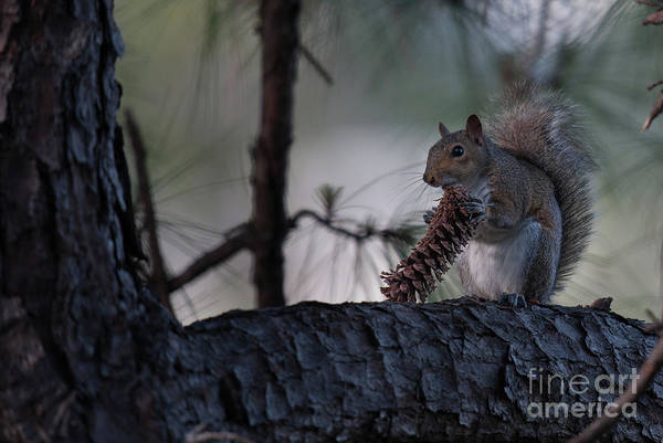 Photograph - Eating A Pine Cone  by Dale Powell
