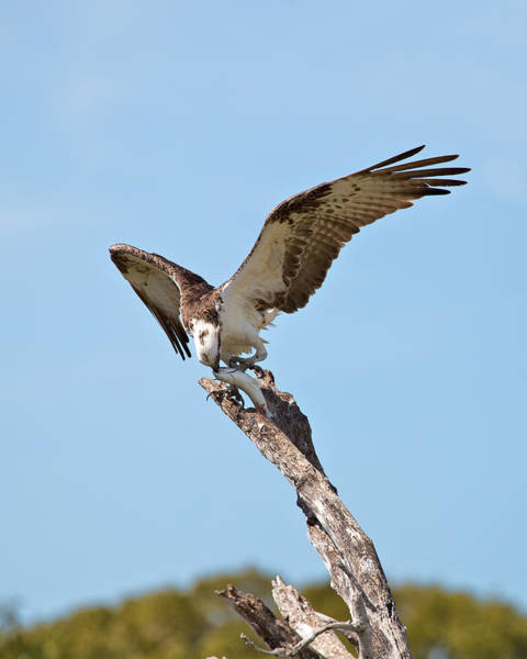 Photograph - Eating Osprey by Rudy Umans