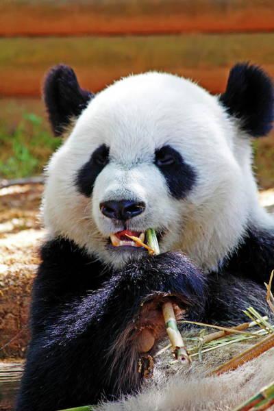 Nfs Photograph - Panda Eating by Daniel Caracappa