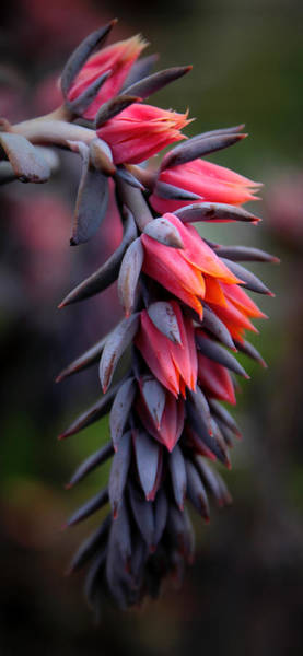 Photograph - Echeveria Flowers by Jessica Jenney