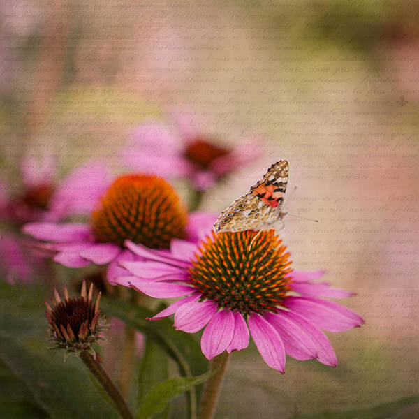 Photograph - Echinacea And Butterfly by Clare Bambers