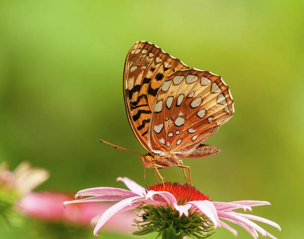 Photograph - Echinacea And Fritillary Butterfly by Lara Ellis