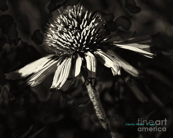 Photograph - Echinacea  by Charles Muhle
