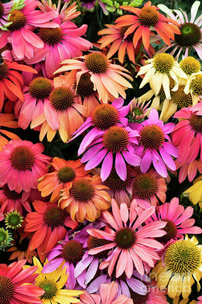 Photograph - Echinacea Colour by Tim Gainey