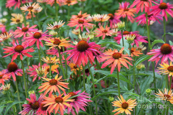 Wall Art - Photograph - Echinacea Hot Summer by Tim Gainey