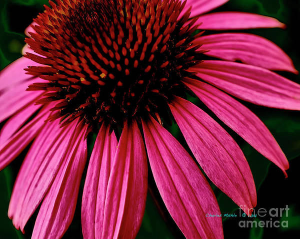 Photograph - Echinacea IIi by Charles Muhle