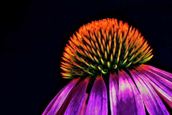 Photograph - Echinacea by Ivan Slosar