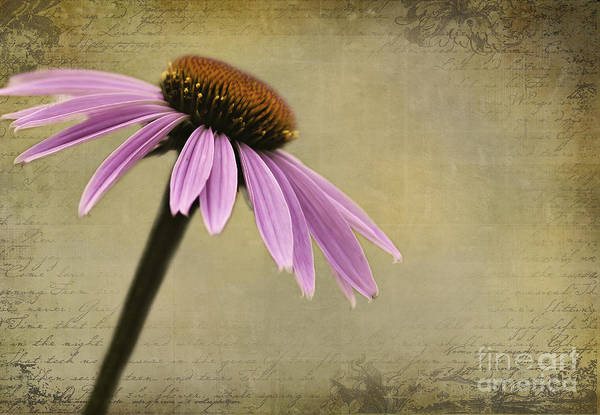 Photograph - Echinacea by Pam  Holdsworth