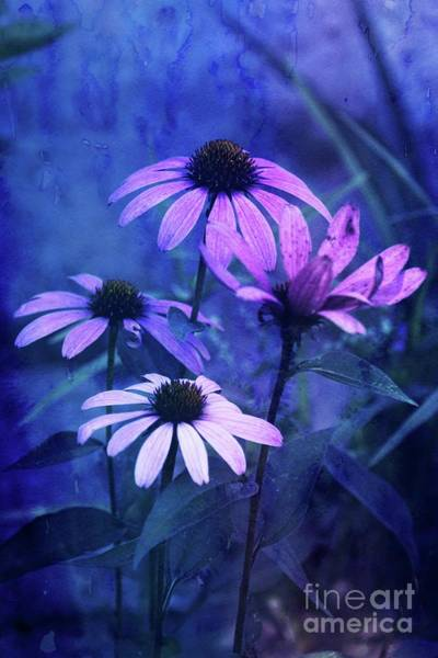 Wall Art - Photograph - Echinacea - V01bt01 by Variance Collections