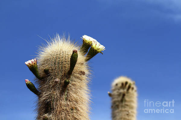 Photograph - Echinopsis Atacamensis Cacti In Flower by James Brunker