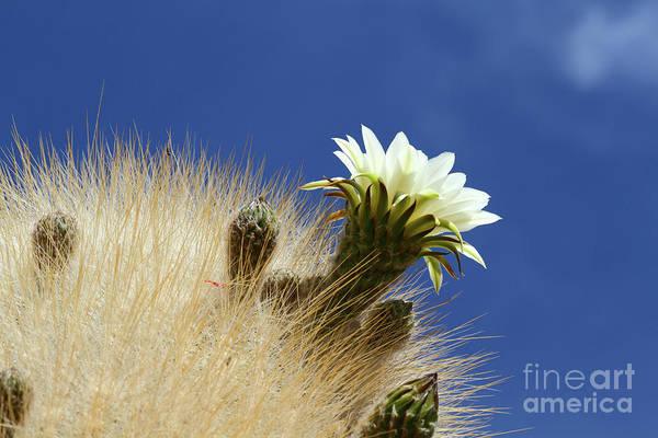 Photograph - Echinopsis Atacamensis Cactus Flower Bolivia by James Brunker