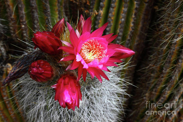 Photograph - Echinopsis Cactus In Flower Bolivia by James Brunker