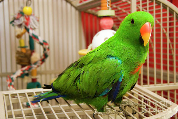 Photograph - Eclectus by Jill Lang