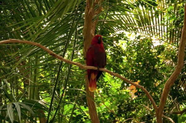 Eclectus Parrots Photograph - Eclectus Parrot 1 by Chris Flees