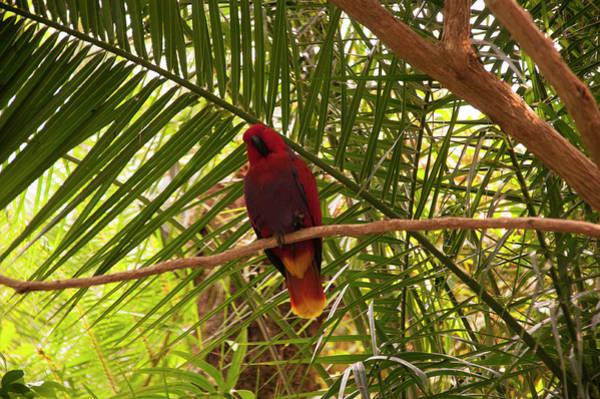 Eclectus Parrots Photograph - Eclectus Parrot 2 by Chris Flees