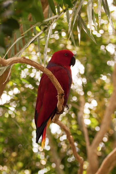 Photograph - Eclectus Parrot 5 by Chris Flees