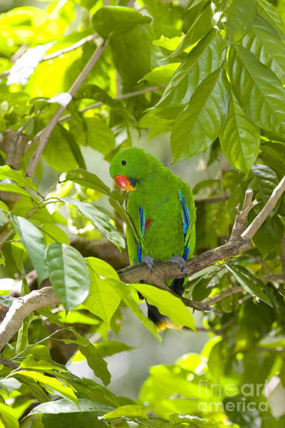 Eclectus Parrots Photograph - Eclectus Parrot by B. G. Thomson