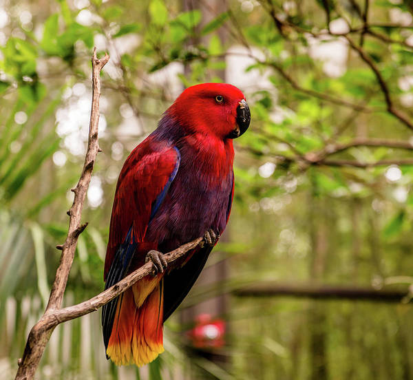 Eclectus Parrots Photograph - Eclectus Parrot  by Cynthia Wolfe
