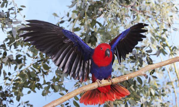 Eclectus Parrots Photograph - Eclectus Parrot Eclectus Roratus by Gerard Lacz