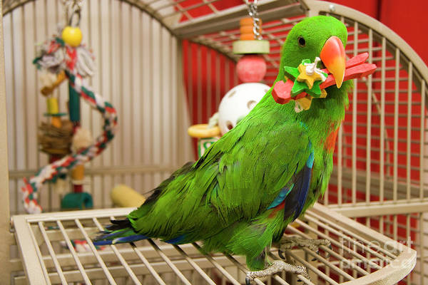 Photograph - Eclectus Parrot Playing by Jill Lang