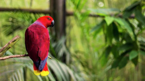 Eclectus Parrots Photograph - Eclectus Parrot by Happy Home Artistry