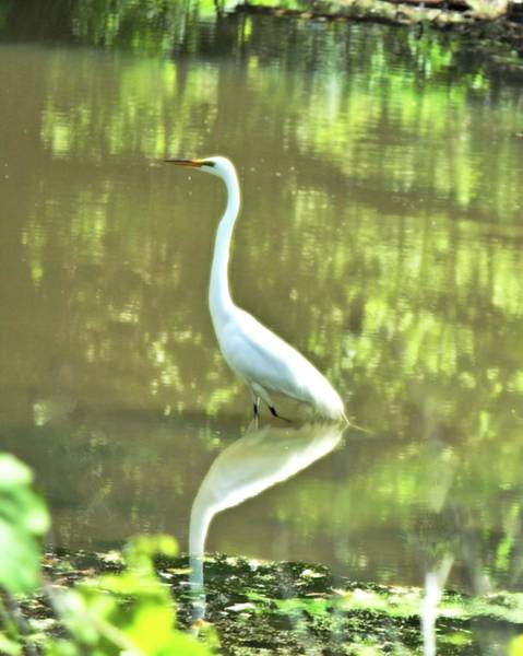 Photograph - Egret 2 by John Feiser