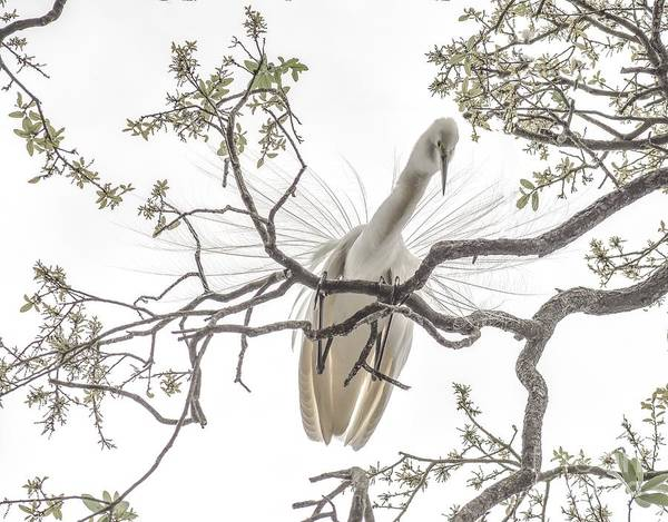 Photograph - Egret Above by Janal Koenig
