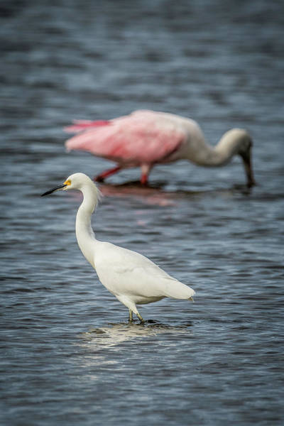 Wall Art - Photograph - Egret And Spoonbill by Paul Freidlund