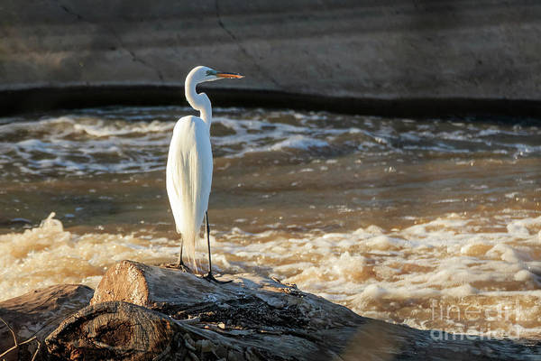 Photograph - Egret At Rest by Richard Smith