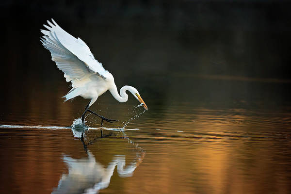 Photograph - Egret At Sunset by Eilish Palmer