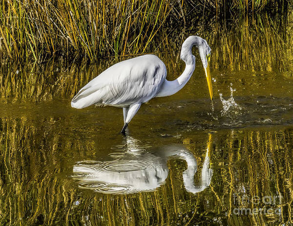 Photograph - Egret By The Water by Nick Zelinsky