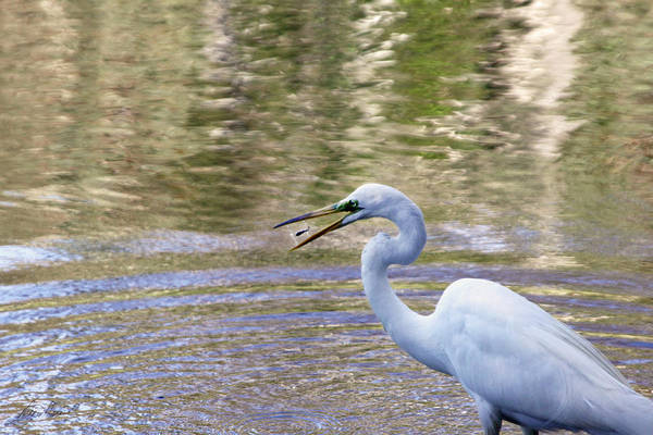Photograph - Egret Catching A Fish by Diana Haronis