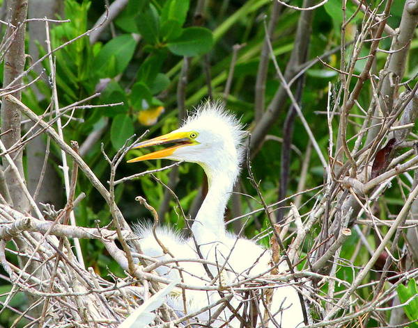 Photograph - Egret Chick In The Nest by Sean Allen