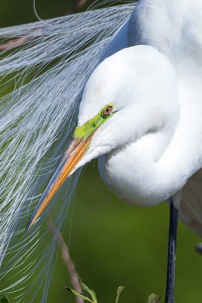 Photograph - Egret Close Up by Paul Schultz