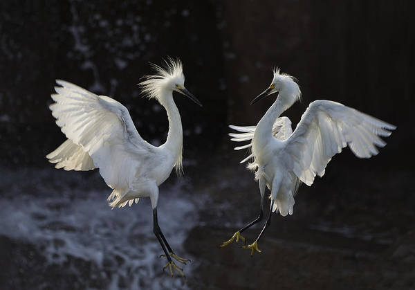 Egrets Wall Art - Photograph - Egret by C.s.tjandra