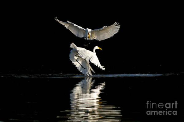 Photograph - Egret Dance by Emily Bristor