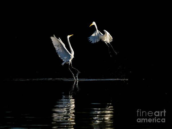 Photograph - Egret Dance II by Emily Bristor