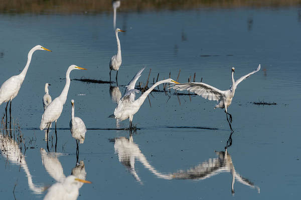 Photograph - Egret Dance by Robert Potts